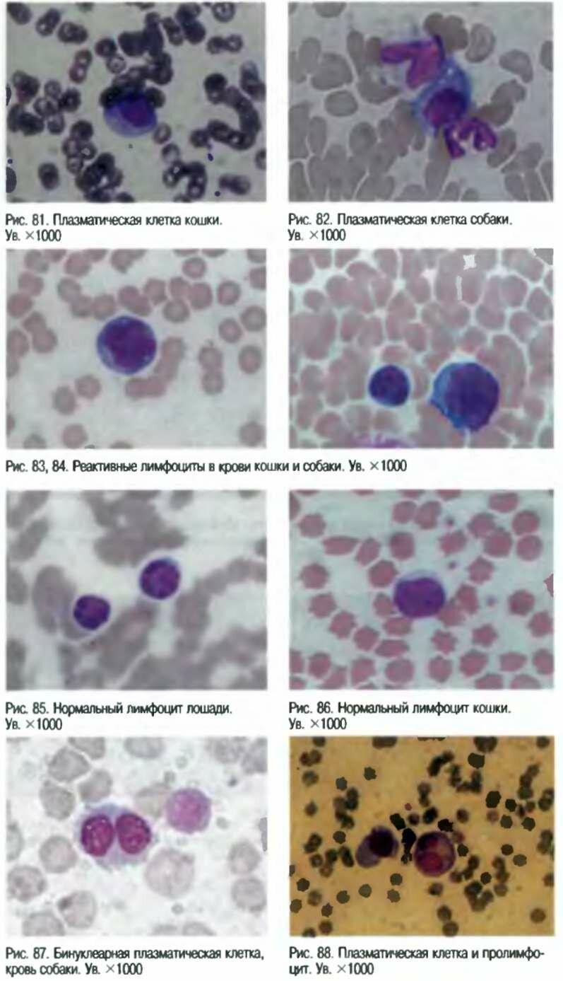 Полихроматофилия фото
